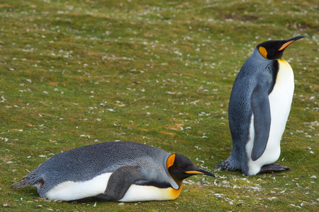 volunteer point: King Penguins Aptenodytes patagonicus resting at Volunteer Point in the Falkland Islands.
