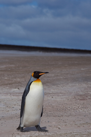 volunteer point: King Penguin Aptenodytes patagonicus on a sandy beach at Volunteer Point in the Falkland Islands.