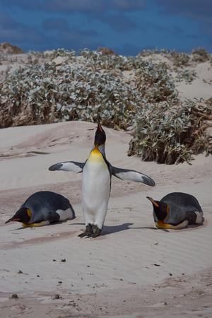 volunteer point: King Penguins Aptenodytes patagonicus on a sandy beach at Volunteer Point in the Falkland Islands.