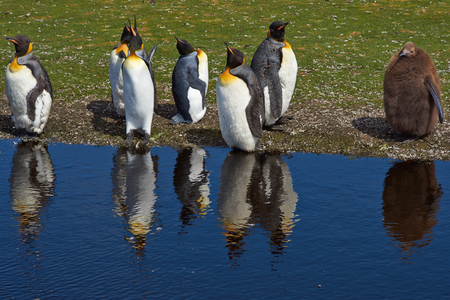 volunteer point: Group of King Penguins Aptenodytes patagonicus moulting by a pond at Volunteer Point in the Falkland Islands.