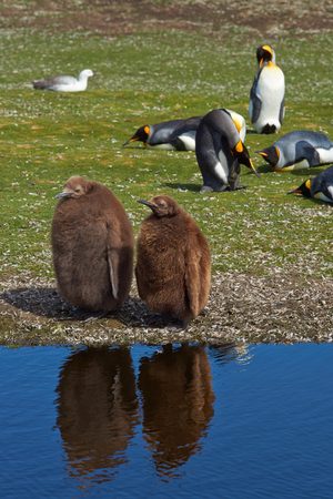 volunteer point: King Penguin chicks Aptenodytes patagonicus standing by a pond at Volunteer Point in the Falkland Islands.