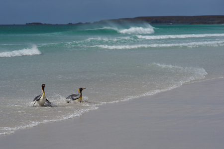 volunteer point: King Penguins Aptenodytes patagonicus coming ashore on a sandy beach at Volunteer Point in the Falkland Islands. Stock Photo