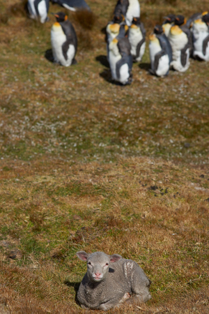 king penguins: Lamb lying on the grass with a group of King Penguins Aptenodytes patagonicus in the background at Volunteer Point in the Falkland Islands.