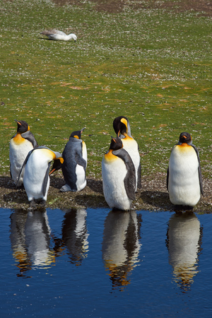 king penguins: Group of King Penguins Aptenodytes patagonicus moulting by a pond at Volunteer Point in the Falkland Islands.