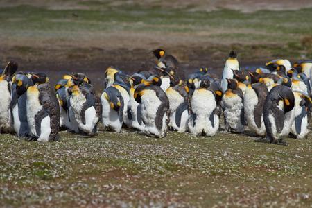 volunteer point: Group of King Penguins Aptenodytes patagonicus moulting on grassland at Volunteer Point in the Falkland Islands.