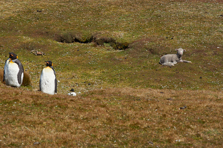 volunteer point: King Penguins Aptenodytes patagonicus on a sheep farm at Volunteer Point in the Falkland Islands. Stock Photo