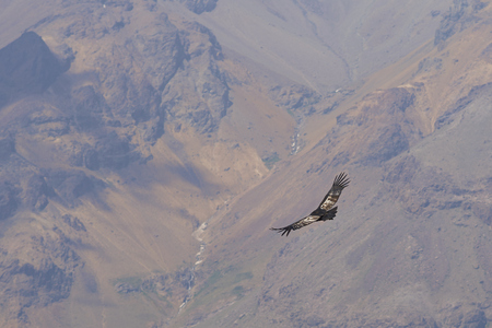 nevado: Wild Andean Condor Condor Vultur gryphus flying against a background of the Andes Mountains near Santiago in Chile. Stock Photo