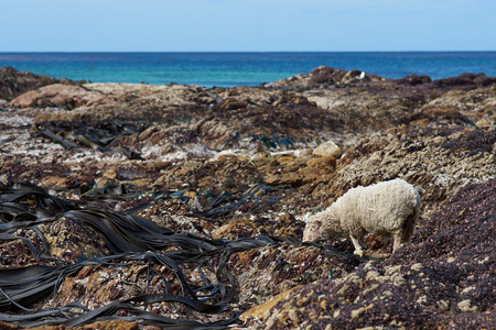 volunteer point: Sheep feeding on giant kelp exposed at low tide on the shoreline at Volunteer Point in the Falkland Islands. Stock Photo