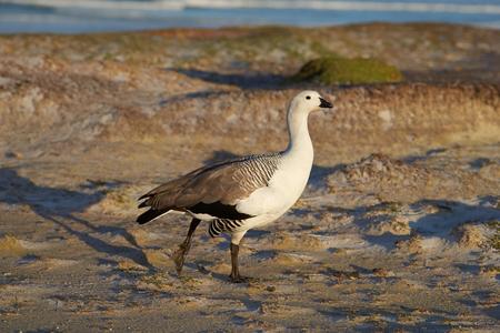 volunteer point: Male Upland Goose Chloephaga picta leucoptera at Volunteer Point in the Falkland Islands. Stock Photo