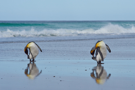 volunteer point: King Penguins preening Aptenodytes patagonicus on a sandy beach at Volunteer Point in the Falkland Islands. Stock Photo