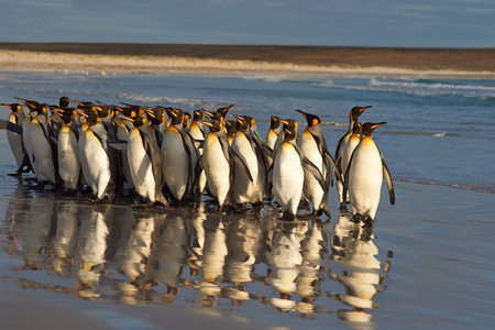volunteer point: Large group of King Penguins Aptenodytes patagonicus standing on the beach in the early morning light at Volunteer Point in the Falkland Islands.