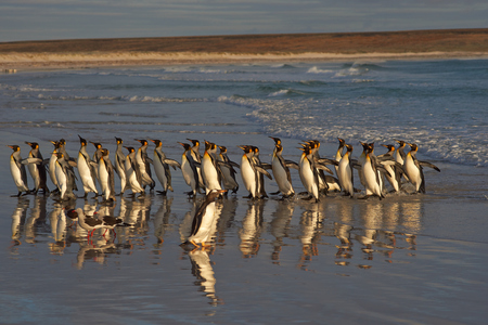 volunteer point: Large group of King Penguins Aptenodytes patagonicus retreat from the incoming sea at Volunteer Point in the Falkland Islands. Stock Photo