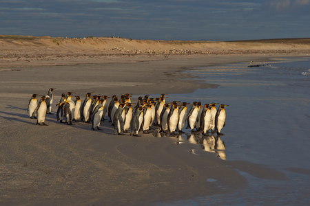 volunteer point: Large group of King Penguins Aptenodytes patagonicus standing on a sandy beach before entering the sea at Volunteer Point in the Falkland Islands.