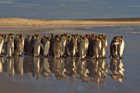 volunteer point: Large group of King Penguins Aptenodytes patagonicus heading towards the sea at Volunteer Point in the Falkland Islands. Stock Photo
