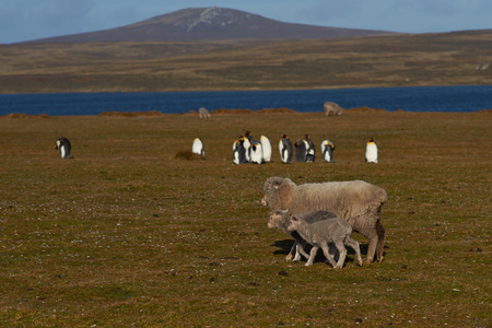 volunteer point: Ewe and her recently born lamb walking past a group of King Penguins Aptenodytes patagonicus on a farm at Volunteer Point in the Falkland Islands. Stock Photo
