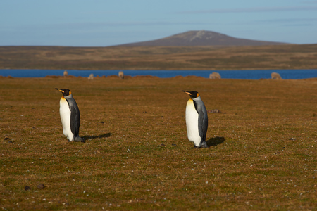 volunteer point: King Penguins Aptenodytes patagonicus walking through a field on a sheep farm at Volunteer Point in the Falkland Islands. Stock Photo