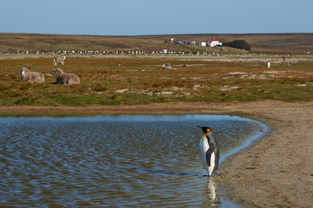volunteer point: King Penguin Aptenodytes patagonicus by a pond on a sheep farm at Volunteer Point in the Falkland Islands.