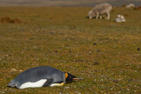 volunteer point: King Penguin Aptenodytes patagonicus lying on the grass amongst sheep on a farm at Volunteer Point in the Falkland Islands.