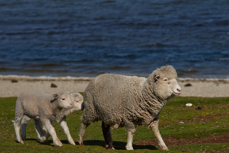 volunteer point: Ewe with newly born lamb on a sheep farm at Volunteer Point in the Falkland Islands. Stock Photo