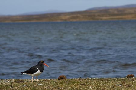 volunteer point: Magellanic Oystercatcher Haematopus leucopodus on the coast at Volunteer Point in the Falkland Islands. Stock Photo