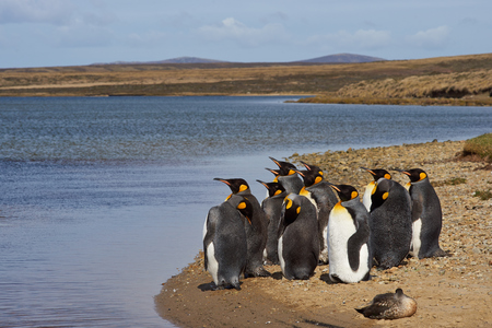 volunteer point: Group of King Penguins Aptenodytes patagonicus moulting on the coast at Volunteer Point in the Falkland Islands.