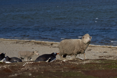 pygoscelis papua: Ewe with newly born lamb walking past a colony of Gentoo Penguins Pygoscelis papua at Volunteer Point in the Falkland Islands.