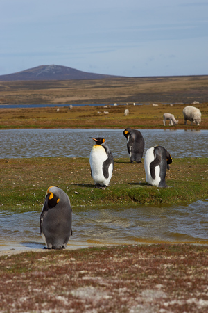 volunteer point: King Penguins Aptenodytes patagonicus by a pond on a sheep farm at Volunteer Point in the Falkland Islands.