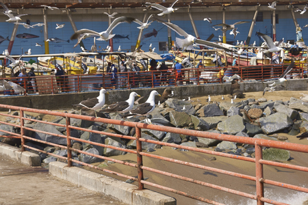 flavescens: VALPARAISO, CHILE - MARCH 02, 2016:  American Sea Lions Otaria flavescens, gulls and pelicans hoping to be fed at the fish market in the UNESCO World Heritage port city of Valparaiso in Chile.