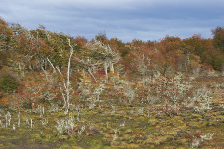 magallanes: Brightly coloured autumn foliage on trees and shrubs in Patagonia, southern Chile. Stock Photo