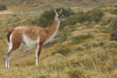 guanicoe: Guanaco (Lama guanicoe) standing amongst the vegetation of Torres del Paine National Park in Patagonia, Chile Stock Photo