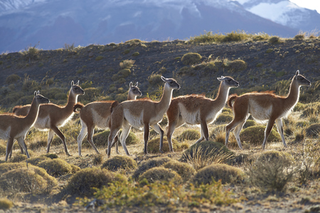 magallanes: Herd of Guanaco (Lama guanicoe) grazing on a hillside in Torres del Paine National Park in the Magallanes region of southern Chile. Stock Photo