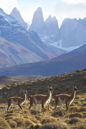 Herd of Guanaco (Lama guanicoe) grazing on a hillside in Torres del Paine National Park in the Magallanes region of southern Chile. Stock fotó