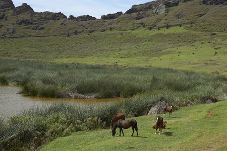 rapa nui: Rano Raraku. Caballos que pastan alrededor del lago en el cráter del volcán extinto que fue la cantera de la que fueron tallados los Moais de Rapa Nui (Isla de Pascua).