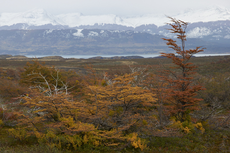 patagonian chile: Brightly coloured autumn foliage on trees and shrubs in Patagonia, southern Chile. Stock Photo