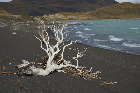 magallanes: Dead tree on a beach of Lago Nordenskjold in the wilderness of Torres del Paine National Park in the Magallanes region of Chile