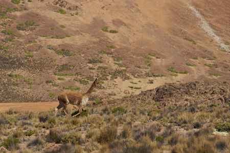 vicuna: Lone vicuna (Vicugna vicugna) amongst the colourful mountains at Suriplaza in the Atacama Desert of north east Chile.
