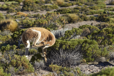 vicuna: Adult vicuna (Vicugna vicugna) grooming itself in Lauca National Park on the Altiplano of north east Chile.