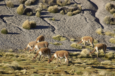 vicuna: Group of adult vicuna (Vicugna vicugna) grazing on a wetland or bofedal in Lauca National Park on the Altiplano of north east Chile.