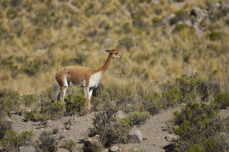 vicuna: Adult vicuna (Vicugna vicugna) in Lauca National Park on the Altiplano of north east Chile.