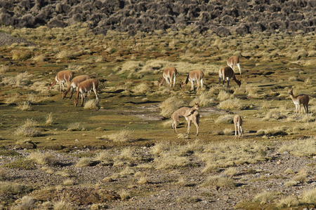 vicuna: Pair of young vicuna (Vicugna vicugna) play fighting amongst the herd on a wetland or bofedal in Lauca National Park on the Altiplano of north east Chile. Stock Photo