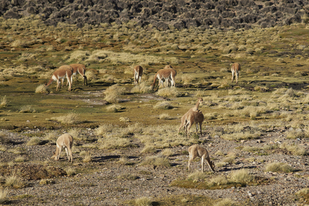 protected plant: Pair of young vicuna (Vicugna vicugna) play fighting amongst the herd on a wetland or bofedal in Lauca National Park on the Altiplano of north east Chile. Stock Photo