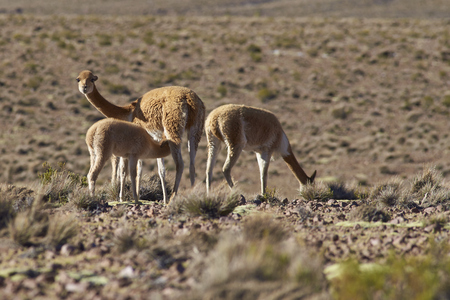imperious: Female vicuna (Vicugna vicugna) suckling its offspring on the altiplano in Lauca National Park, northern Chile.