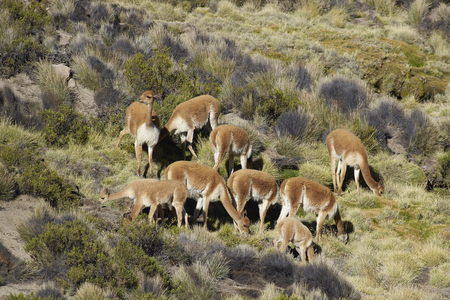 imperious: Group of vicuna (Vicugna vicugna) on the altiplano in Lauca National Park, northern Chile.