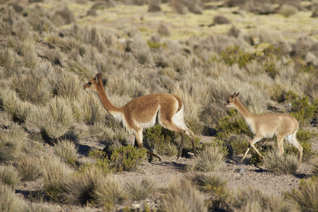 imperious: Adult and baby Vicuna (Vicugna vicugna) in Lauca National Park, northern Chile