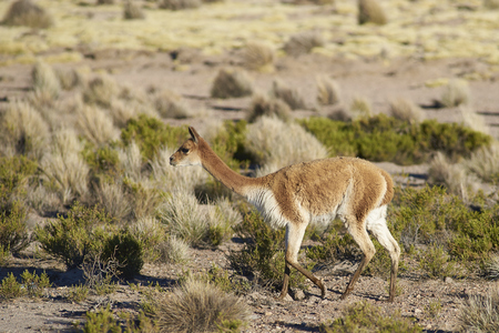 imperious: Vicuna (Vicugna vicugna) in Lauca National Park, northern Chile