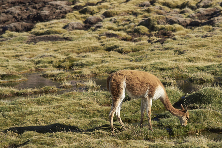 vicuna: Adult vicuna (Vicugna vicugna) grazing in a wetland in Lauca National Park on the Altiplano of north east Chile.