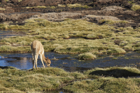 vicuna: Baby vicuna (Vicugna vicugna) grazing in a wetland in Lauca National Park on the Altiplano of north east Chile. Stock Photo