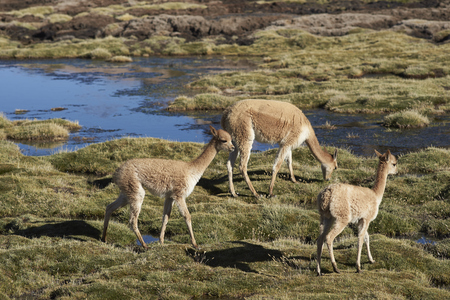 vicuna: Group of adult and baby vicuna (Vicugna vicugna) grazing in a wetland in Lauca National Park on the Altiplano of north east Chile.