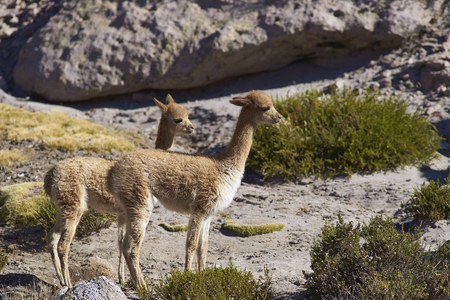 vicuna: Young vicuna (Vicugna vicugna) in Lauca National Park on the Altiplano of north east Chile.