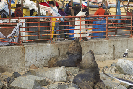 city fish market sign: VALPARAISO, CHILE - JULY 5, 2016: Man signalling to two male South American Sea Lions (Otaria flavescens) to move, at the fish market in the UNESCO World Heritage port city of Valparaiso in Chile. Editorial